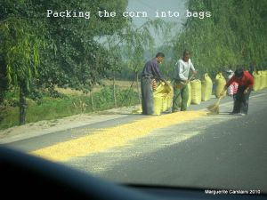 Packing the corn