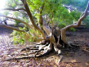 Mangrov