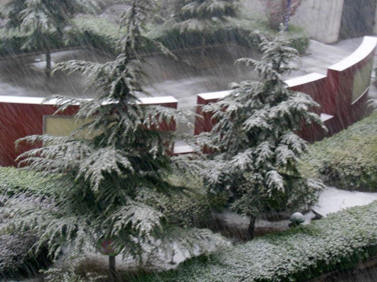 Snowy trees