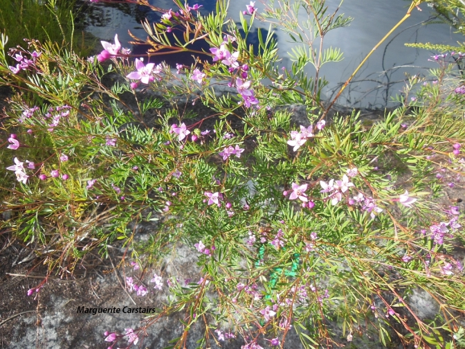Wild Boronia...insecticide...