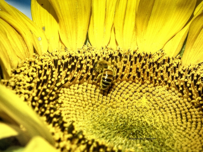 Bee in sunflower1024