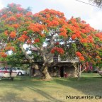 Poinciano Trees in Bloom in Russell Island and Brisbane