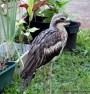 Curlews in my Garden