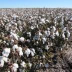 Cecil Plains Queensland..Cotton Growing