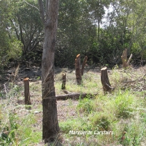 stumps-of-trees