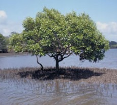 grey-mangroves