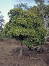 orange-mangroves