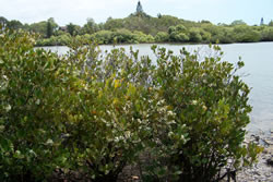river-mangroves