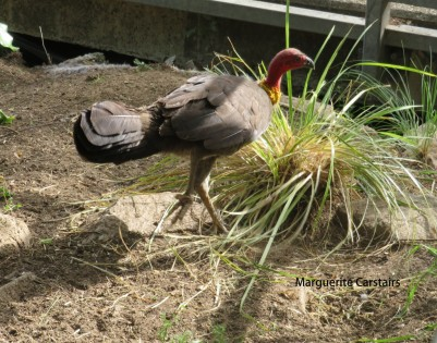 Bush Turkey on a grassy mound