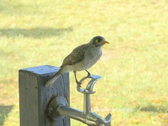 Myna using the drinking fountain