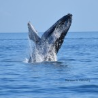 Whale Watching from Fraser Island