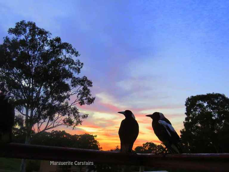 sunrise Magpies