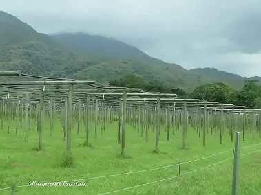 Passionfruit Vineyards