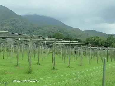 Passionfruit Vineyards