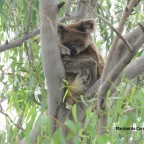 Koalas on Stradbroke Island