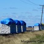 Cotton In Queensland