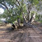 Island Mangroves