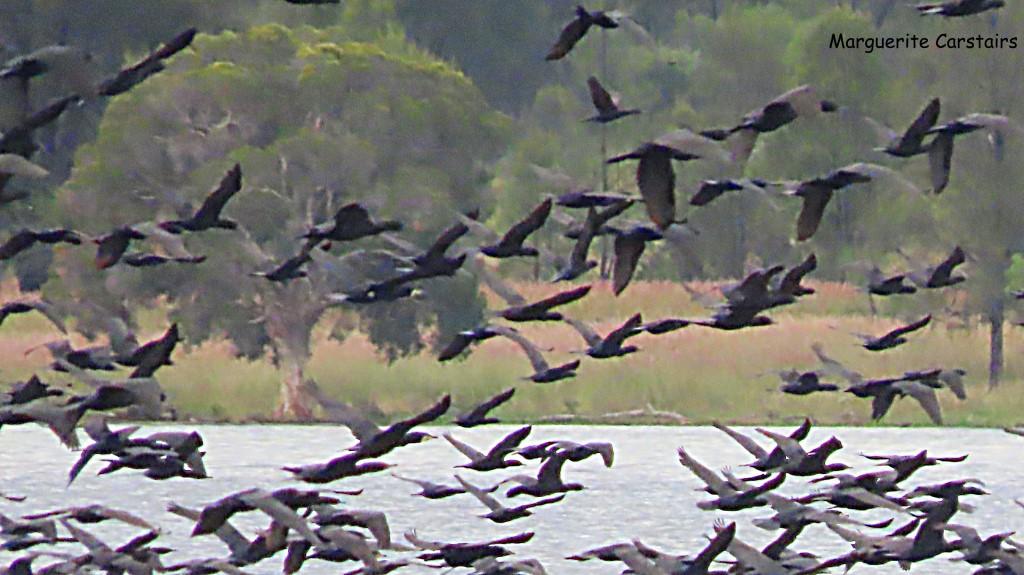 Birds at Coolamunda Lake